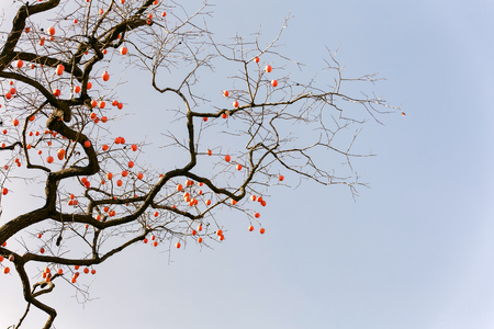Persimmon tree in Linqu
