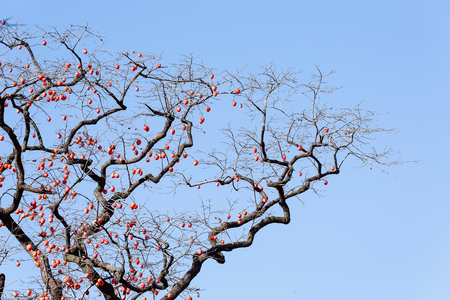 Persimmon tree in Linqu