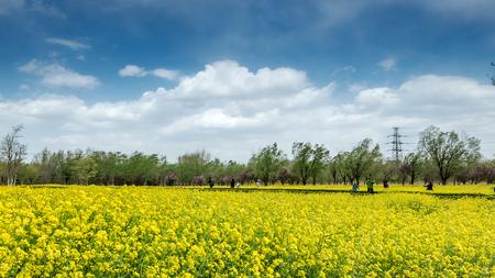 canola flower field Фото со стока