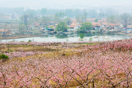 Where the peach blossoms are in full bloom