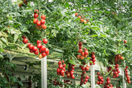 Three dimensional cultivation of Tomato