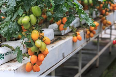 Three dimensional cultivation of Tomato