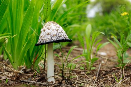 Umbelus mushroom