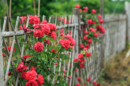 The fence and the rose Stock Photo