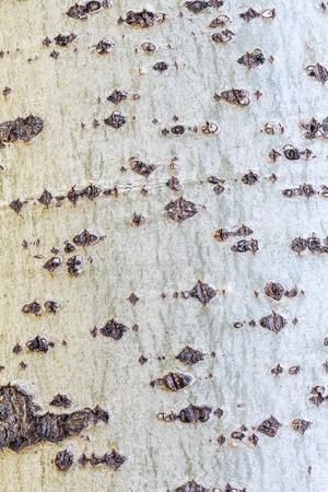 Poplar bark texture