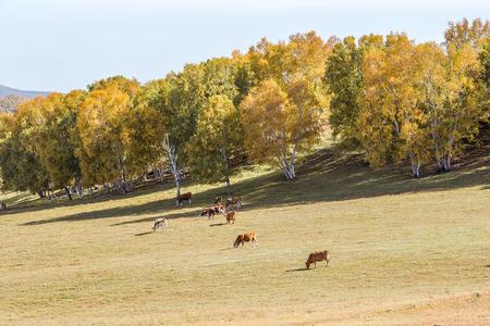 Bashang grassland autumn pasture