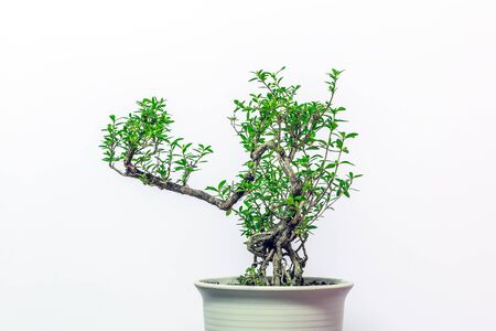 Serissa foetida potted on white background