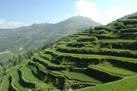 rijst: Rice fields