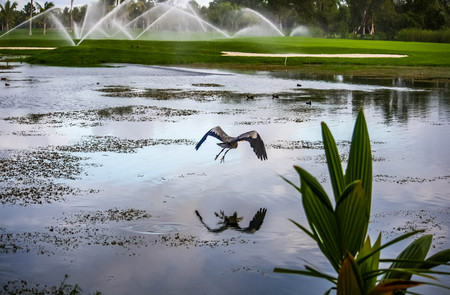 A beautiful lake with water plants and a flying big bird heron and a green golf field with watering we see on the picture