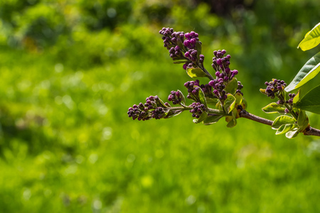 A branch of lilac has not yet bloomed on a green blurred background