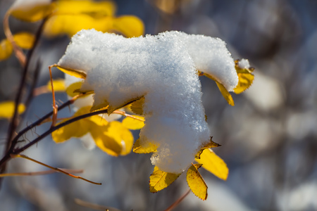 A plant with yellow leaves with snow is on a blurred background in autumn
