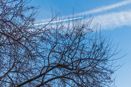 The photo of a group of crisp and blurred white traces of airplanes in a blue sky with dark silhouettes of branches of apple trees without leaves with red apples in autumn. Banque d'images