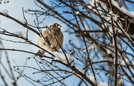 A fun gray and brown sparrow sits on a branch with snow in the park in winter and looks at the camera on a blurred blue background.
