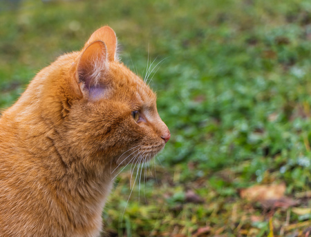 A profile portrait of a beautiful bright red kitten with yellow eyes and pink nose is on a green and yellow grass background Imagens