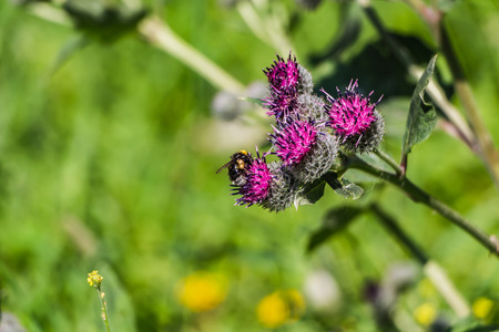 A large shaggy bright yellow and brown bumble bee with pollen on his fur pollinates purple burdock flowers in the garden in summer on a blurred green background. Foto de archivo