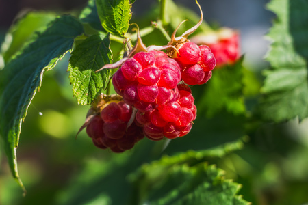 The twigs of group of red fresh ripe raspberry berries is on a raspberry bush with bright green leaves and buds