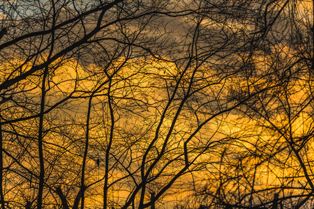 Black silhouettes of trees without leaves are on a yellow and gold sky background with orange sunset clouds