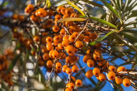 The wet bunches of ripe orange sea buckthorn red berries or sea berries with green and yellow leaves are on a blue sky background in a garden in autumn.