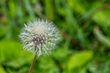 One white fluffy dandelion head with seeds is on a beautiful blurred green background