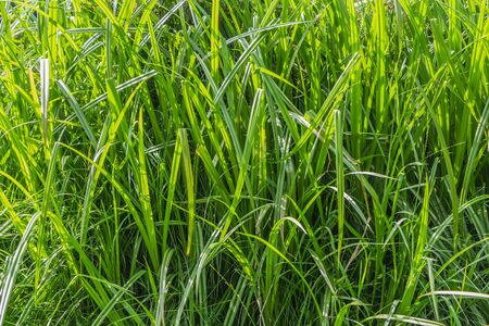 Horizontal texture of green grass reeds is by a pond in summer Stockfoto