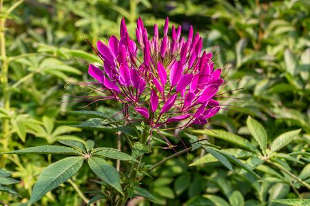 One purple and red Cleome hassleriana flower or Spinnenblume or Cleome spinosa with green leaves is on a green blurred background