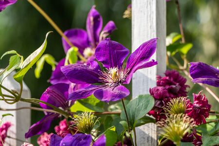 A group of red and violet clematis viticella and purpurea flowers is on a blurred background with a white fence