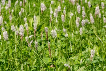 Beautiful white Plantago lanceolata flowers is on the green grass and leaves background in the park in summer