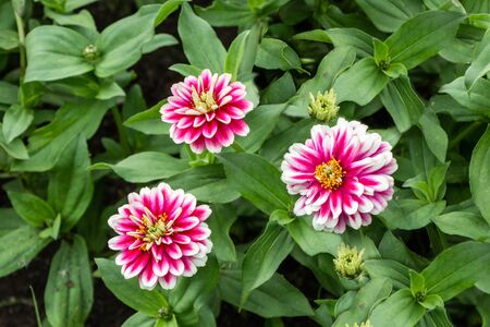 Three red and white and yellow Zinnia elegans flowers with bud and green leaves are in a park in summer