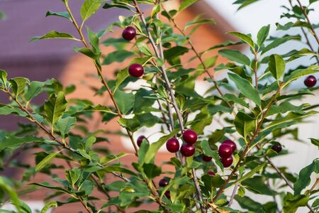 Bunches of group ripe red cherry berries with green leaves are on a blur wooden house background in a garden in summer