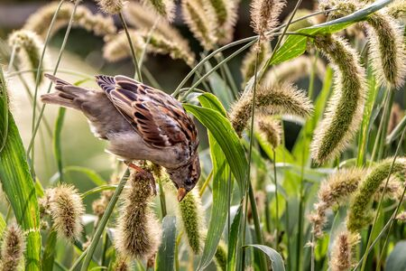 One gray and brown sparrow eats seeds of the carex acutiformis ehrh green grass in the park in autumn