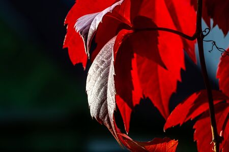 The beautiful red leaves of girlish grapes are on a dark blurred background in a park in autumn
