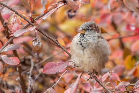 A fun gray and brown sparrow sits on a branch in the park in autumn and looks at the camera on a blurred yellow background Stockfoto