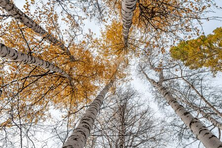 A horizontal photo of a group of white birch trees with yellow foliage against the blue sky background in the forest in autumn 写真素材
