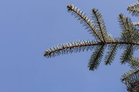 A branch of blue fir tree with is for Christmas decoration on a blue background