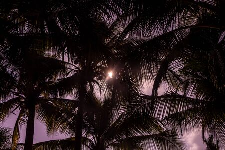 The beautiful Cocos nucifera palms with a group of coconuts is on the pink sunset sky background