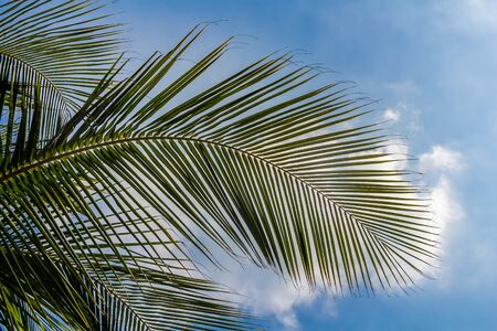 The beautiful big Cocos nucifera palm leaves are on the blue sky with white clouds background Foto de archivo