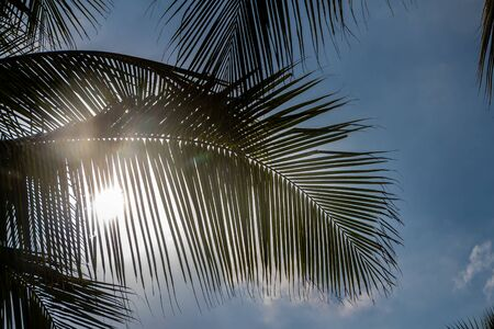 The beautiful big Cocos nucifera palm leaves are on the blue sky with white clouds background
