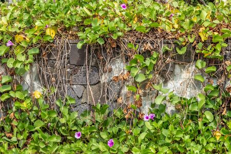 A beautiful texture of orange stone pumice with holes and green and orange plant Ipomoea pes-caprae or prota is in the photo