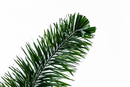 The beautiful big green palm leaf isolated on a white background Foto de archivo