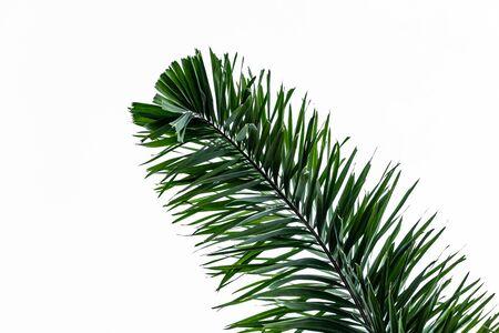 La hermosa hoja de palma verde grande aislada sobre un fondo blanco Foto de archivo