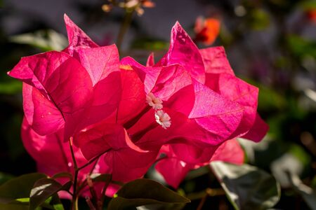 Red flowers Bougainvillea with green leaves grows in a garden in summer