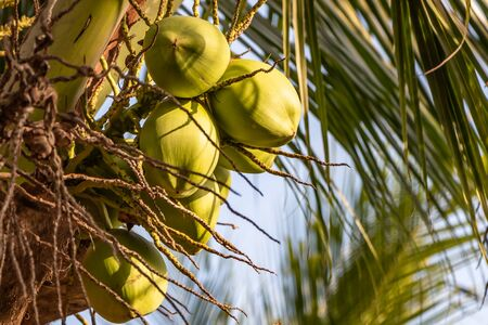 The beautiful Cocos nucifera palms with a group of green coconuts is on the blue sky background