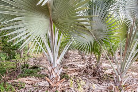 A group of beautiful Bismarckia nobilis or Bismarck Palms with a thick trunks and broad rounded heads of gorgeous, stiff, intensely steel-blue, fan-shaped fronds