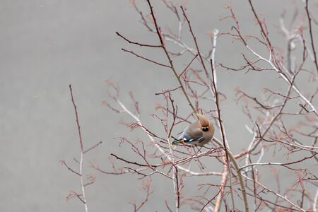 Gray and red Bohemian waxwing Bombycilla garrulus birds are on a branch of wild apple tree in the park in winter 写真素材