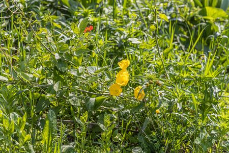 A group of yellow and orange poppy flowers grows on a green background of leaves and grass in a park in summer