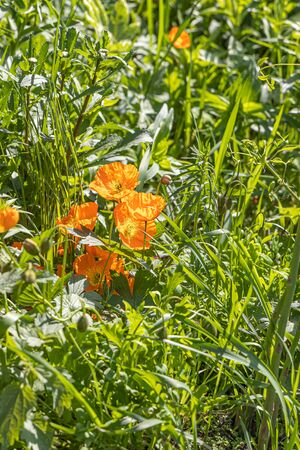 A group of yellow and orange poppy flowers grows on a green background of leaves and grass in a park in summer. Vertical photo