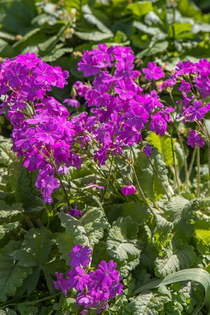 A Group of violet primula or primrose flowers grows on a green background of leaves and grass in a park in summer. Vertical Imagens