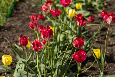 A Group of Yellow and red tulips with stamens and pestle is on a blurred green background