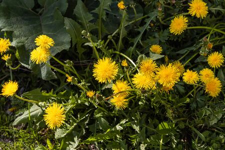 A group of yellow dandelions grow on a green background of leaves and grass in a park we see in the photo Imagens