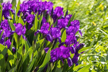A Group of violet irises flowers grows on a green background of leaves and grass in a park in summer